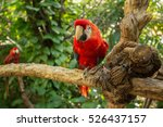 parrot   red blue macaw. jungle ... | Shutterstock . vector #526437157