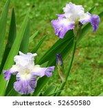 A Pair Of Purple Bearded Iris'...