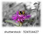 Bee Pollination On A Purple...