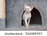 Stock photo oriental blue point siamese kitten playing in his house 526589557