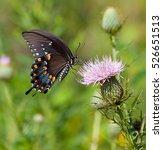 Spicebush Swallowtail  Papilio...
