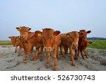 Small photo of calf - calves, eight calves in the farm