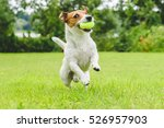 Stock photo jack russell terrier running and jumping on camera 526957903