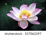 Blossom Pink Lotus Flower In...