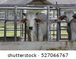 brahman cow at a cattle farm or ... | Shutterstock . vector #527066767