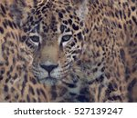 Digital Painting Of Leopard...