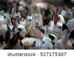a group of young rabbits in the ...   Shutterstock . vector #527175307
