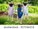 Funny Pug Puppies Weigh In A...