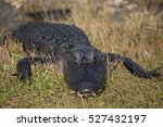 American Alligator In Florida...