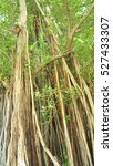 Banyan Tree On The Jungle With...