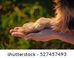 Stock photo yorkshire terrier gives paw his owner closeup with human hand 527457493