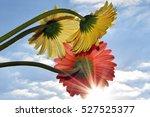summer flowers in the sunshine | Shutterstock . vector #527525377