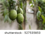 olives on olive tree drop of... | Shutterstock . vector #527535853