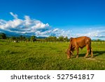 Single Cow On A Meadow.