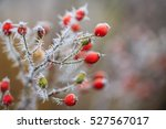 Winter In The Garden. The Firs...