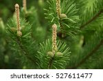 pinecone. nature background. | Shutterstock . vector #527611477