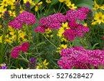 detail of achillea millefolium...   Shutterstock . vector #527628427