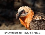 Bearded Vulture  Gypaetus...