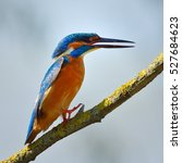 Small photo of kingfisher in natural habitat (alcedo atthis)