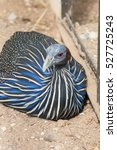 The Vulturine Guineafowl ...