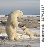 Canadian Eskimo Dog Retaliates...