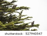 Small photo of North American vultures, or buzzards, perched on a cypress tree, coastal northern California.
