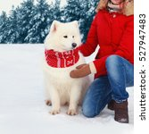 White Samoyed Dog In Winter...