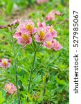Small photo of Flowers Alstroemeria hybrid (lat. Alstroemeria) on a green background