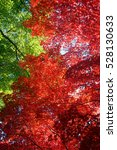 Small photo of Japanese maples, acer palmatum, turn color in Tokyo's Gotenyama Garden in Shinagawa.