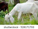 Goat In Goat Farm   Thailand