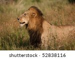 ������, ������: A large male lion