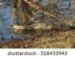 Small photo of Alligator (Alligator mississippiensis) in swamp