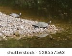Two Turtles In Profile At The...