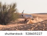 Arabian Oryx Juvenile Running...