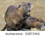 Small photo of South American beaver rat with big orange teeth washing. Latin name myocastor coypus