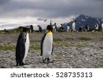 Small photo of Impression of the King Penguin rookery at Salisbury Plains. These plains are located on the island of South Georgia. They are home to one of the largest king penguin colonies on earth