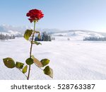 Beautiful Red Rose Snowy...