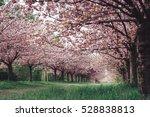 Beautiful Flowering Cherry...