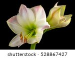 close up of white amaryllis... | Shutterstock . vector #528867427