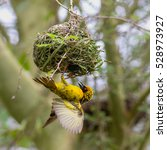 Small photo of Village weaver hanging on to the nest he is building