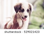 Stock photo puppy woman holds her puppy in hands 529021423
