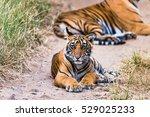 royal bengal tiger   tigress... | Shutterstock . vector #529025233