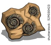 Set Of Fossilized Shell Of...