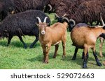 Young Brown Goat In A Large...