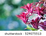 guzmania   tufted airplant  ... | Shutterstock . vector #529075513