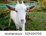white goat  close up | Shutterstock . vector #529104703
