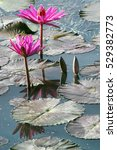 beautiful blossom pink lotus on ... | Shutterstock . vector #529382773