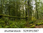 ancient rain forest in... | Shutterstock . vector #529391587