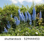 Blue Delphiniums In A Country...