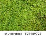 Natural Texture. Moss Dicranum...